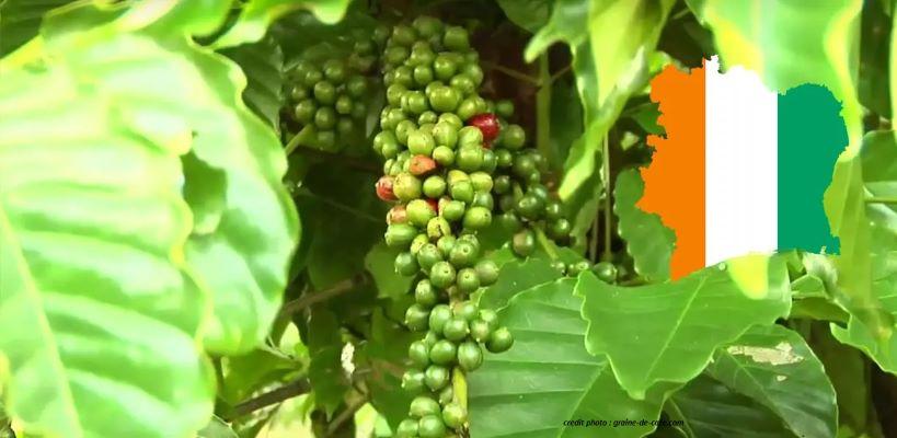 CÔTE D'IVOIRE : BAISSE DU KILOGRAMME DE CAFÉ