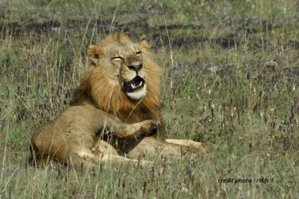AFRIQUE DU SUD : UN PISTEUR DÉVORÉ PAR DEUX LIONS DANS LA RÉSERVE DE LIMPOPO.