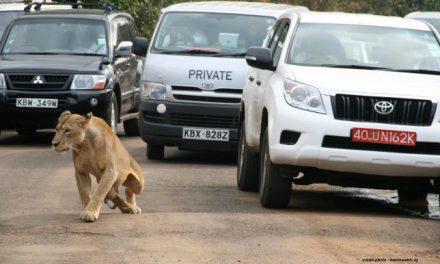 KENYA : UN LION SÈME LA PANIQUE À NAIROBI.